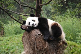 Natural-posers-natural-sleepers-giant-panda-at-Wolong-Nature-Reserve-Sichuan-China