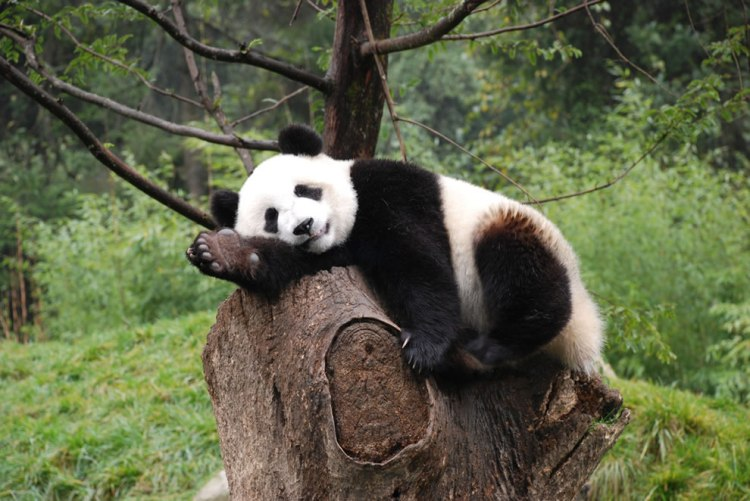 Natural-posers-natural-sleepers-giant-panda-at-Wolong-Nature-Reserve-Sichuan-China.jpg